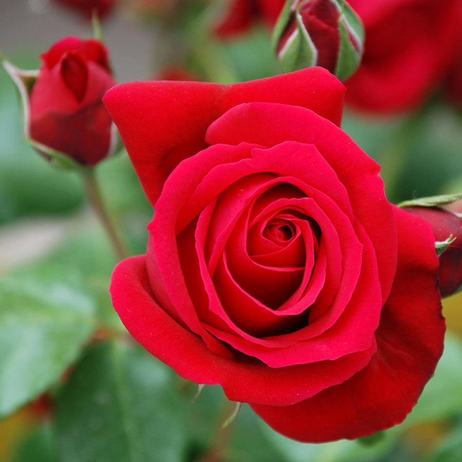 em là hoa hồng nhỏ